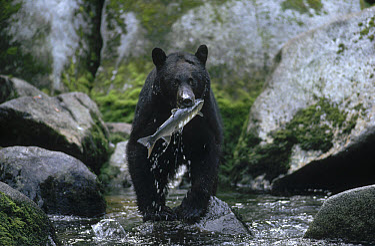 Black Bear (Ursus americanus) catching salmon, Alaska  -  Michio Hoshino