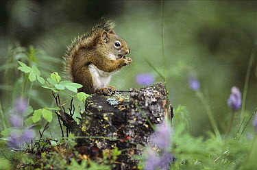 Red Squirrel (Tamiasciurus hudsonicus) feeding atop tree stump, Alaska  -  Michio Hoshino