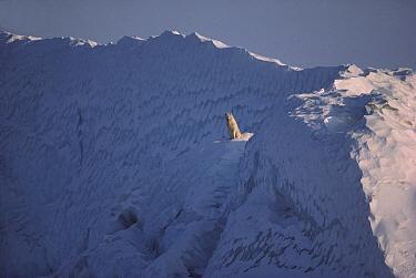 Arctic Wolf (Canis lupus) male sitting on iceberg, Ellesmere Island, Nunavut, Canada  -  Jim Brandenburg
