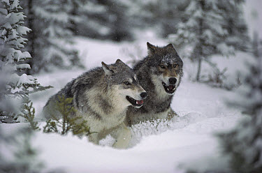 Timber Wolf (Canis lupus) pair running through deep snow, Minnesota  -  Jim Brandenburg