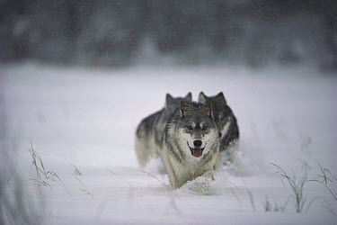 Timber Wolf (Canis lupus) trio running through deep snow, Minnesota  -  Jim Brandenburg