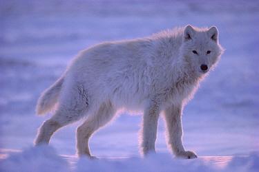 Arctic Wolf (Canis lupus) portrait, Ellesmere Island, Nunavut, Canada  -  Jim Brandenburg