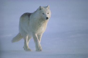 Arctic Wolf (Canis lupus) walking into wind, Ellesmere Island, Nunavut, Canada  -  Jim Brandenburg