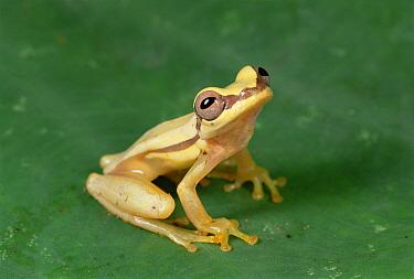Snouted Treefrog (Scinax quinquefasciatus) near Santiago Island, Galapagos Islands, Ecuador  -  Mark Moffett