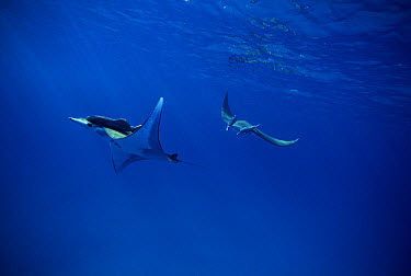 Mobula Ray (Mobula mobular) pair with attached Remoras (Remora remora), Cocos Island, Costa Rica  -  Flip Nicklin