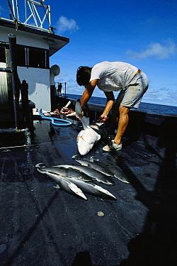 Shark fishing, several dead sharks aboard boat, fisherman cutting fin, Costa Rica  -  Flip Nicklin