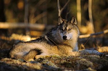 Timber Wolf (Canis lupus) resting on forest floor, Minnesota  -  Jim Brandenburg
