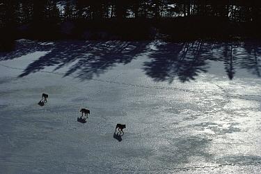 Timber Wolf (Canis lupus) trio crossing frozen lake, Minnesota  -  Jim Brandenburg