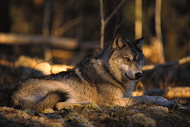 Timber Wolf (Canis lupus) resting on forest floor, Minnesota  -  Jim Brandenburg