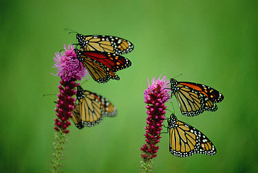 Monarch (Danaus plexippus) butterfly group resting on Thickspike Gayfeather (Liatris pycnostachya) flowers, North America  -  Jim Brandenburg