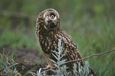 Short-eared Owl (Asio flammeus) with cocked head, Tallgrass Prairie National Preserve, South Dakota  -  Jim Brandenburg