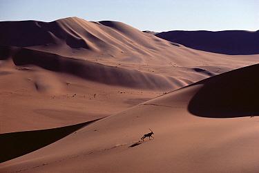 Gemsbok (Oryx gazella) running across sand dune, Namib Desert, Namibia  -  Jim Brandenburg