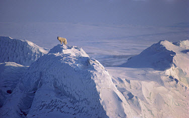 Arctic Wolf (Canis lupus) male on iceberg, Ellesmere Island, Nunavut, Canada  -  Jim Brandenburg