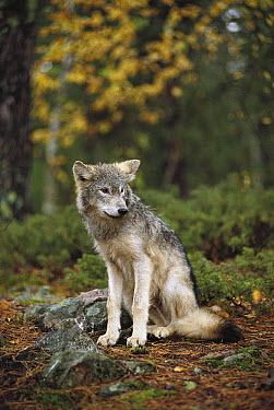 Timber Wolf (Canis lupus) juvenile sitting in the forest, Minnesota  -  Jim Brandenburg