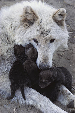 Timber Wolf (Canis lupus) mother with litter of pups, Minnesota  -  Jim Brandenburg