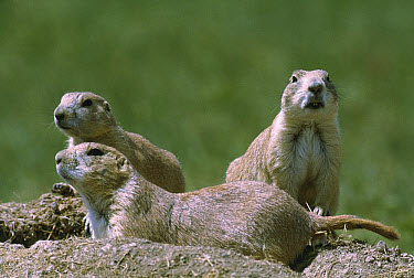 Black-tailed Prairie Dog (Cynomys ludovicianus) trio at burrow entrance, South Dakota  -  Jim Brandenburg