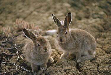 Arctic Hare (Lepus arcticus) babies camouflaged on tundra, Ellesmere Island, Nunavut, Canada  -  Jim Brandenburg