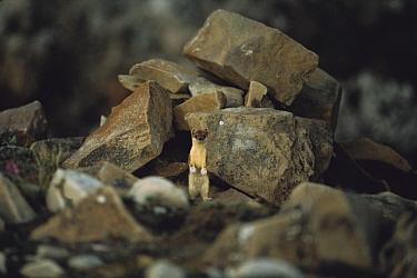 Long-tailed Weasel (Mustela frenata) standing among rocks, Ellesmere Island, Nunavut, Canada  -  Jim Brandenburg