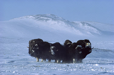 Muskox (Ovibos moschatus) herd in defensive formation, Ellesmere Island, Nunavut, Canada  -  Jim Brandenburg