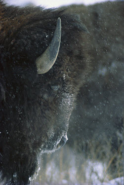 American Bison (Bison bison) in snowfall, Custer State Park, South Dakota  -  Jim Brandenburg