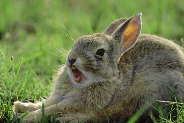 Cottontail Rabbit (Sylvilagus aquaticus) yawning, South Dakota  -  Jim Brandenburg