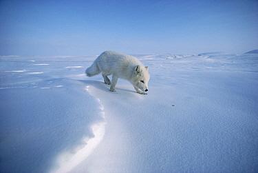 Arctic Fox (Alopex lagopus) smelling snow, Ellesmere Island, Nunavut, Canada  -  Jim Brandenburg