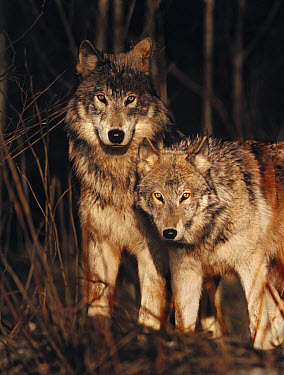 Timber Wolf (Canis lupus) pair in forest, Minnesota  -  Jim Brandenburg