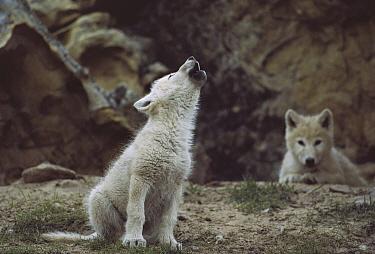 Arctic Wolf (Canis lupus) pup howling, Ellesmere Island, Nunavut, Canada  -  Jim Brandenburg