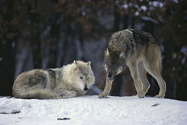 Timber Wolf (Canis lupus) alpha female resting as yearling growls at camera, Minnesota  -  Jim Brandenburg