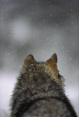 Timber Wolf (Canis lupus) in snow storm, Minnesota  -  Jim Brandenburg