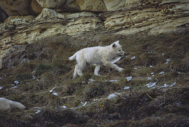 Arctic Wolf (Canis lupus) pup plays with a gull feather, Ellesmere Island, Nunavut, Canada  -  Jim Brandenburg