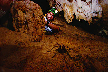 Cave Tarantula (Hemirrhagus reddelli) observed by Peter Sprouse, Oaxaca, Mexico  -  Mark Moffett