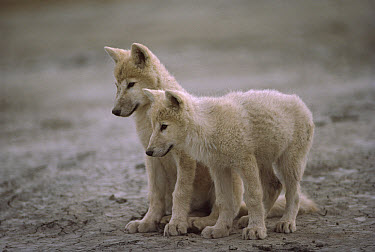 Arctic Wolf (Canis lupus) pups, Ellesmere Island, Nunavut, Canada  -  Jim Brandenburg