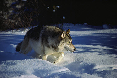 Timber Wolf (Canis lupus) walking through deep snow, Minnesota  -  Jim Brandenburg