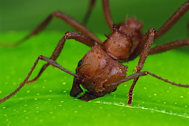 Leafcutter Ant (Acromyrmex octospinosus) worker cutting papaya leaf, Guadeloupe, Caribbean