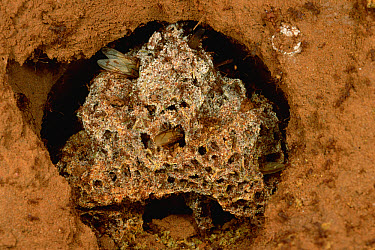 Leafcutter Ant (Atta columbica) fungus garden chamber tended to by workers, central Paraguay  -  Mark Moffett