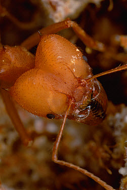 Leafcutter Ant (Atta sexdens) soldier, close-up, the largest worker in many leafcutter colonies specialize in defense, their enlarged heads contain massive adductor muscles to work their powerful jaws...  -  Mark Moffett