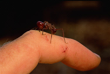Leafcutter Ant (Atta laevigata) soldier bites photographer, carving through his skin in just the same way medium-sized workers bite leaves, near Sao Paulo, Brazil  -  Mark Moffett