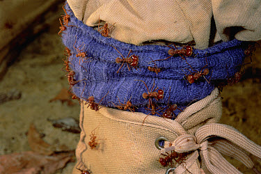 Leafcutter Ant (Atta cephalotes) soldiers attack photographer's foot, soldiers specialize in vertebrate defense, rarely leaving the nest unless it is disturbed, French Guiana  -  Mark Moffett