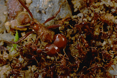 Army Ant (Labidus sp) group swarm over a Leafcutter (Atta sexdens) soldier, both species have massive, well defended colonies and normally avoid each other, in this case, the two armies retreated with...  -  Mark Moffett