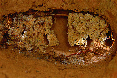 Leafcutter Ant (Trachymyrmex sp) nest chamber, about 10cm wide, contains two fungus gardens hanging like fragile stalactites, French Guiana  -  Mark Moffett