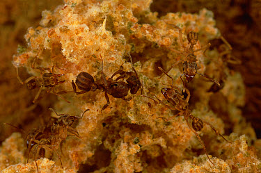 Leafcutter Ant (Trachymyrmex sp) queen and workers in nest chamber, about 10 centimeters wide, French Guiana  -  Mark Moffett