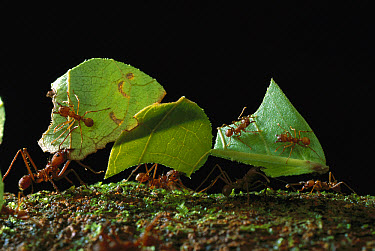 Leafcutter Ant (Atta cephalotes) ants taking leaves to nest, French Guiana  -  Mark Moffett