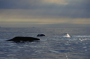 Bowhead Whale (Balaena mysticetus) juvenile basking, Baffin Island, Canada  -  Flip Nicklin