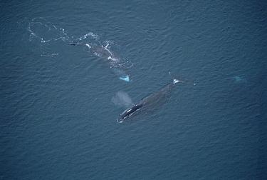 Bowhead Whale (Balaena mysticetus) sex play, Baffin Island, Canada  -  Flip Nicklin