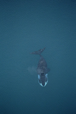 Bowhead Whale (Balaena mysticetus) aerial view of 50 foot adult scarred by scrapes with ice and Killer Whales (Orcinus orca), Isabella Bay, Baffin Island, Canada  -  Flip Nicklin