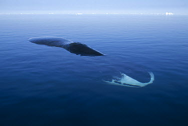 Bowhead Whale (Balaena mysticetus) resting at water surface, Isabella Bay, Canada  -  Flip Nicklin