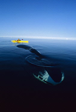 Bowhead Whale (Balaena mysticetus) observed by Canadian biologist Kerry Finley in kayak, Isabella Bay, Baffin Island, Canada  -  Flip Nicklin