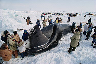 Bowhead Whale (Balaena mysticetus) captured by Inuits who gather around before it is flensed, Barrow, Alaska  -  Flip Nicklin