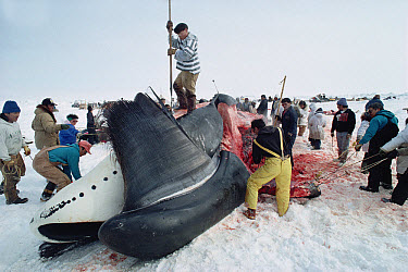 Bowhead Whale (Balaena mysticetus) being flensed by Inuits, Barrow, Alaska  -  Flip Nicklin